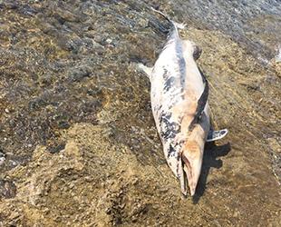 Bodrum'da kıyıya yunus ölüsü vurdu