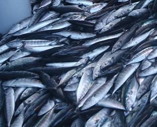 Havalar ısındı, avı azalan palamudun fiyatı yükseldi