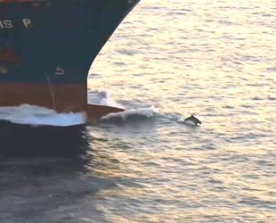 Yunusların dev gemilerle oyunu renkli görüntüler oluşturdu