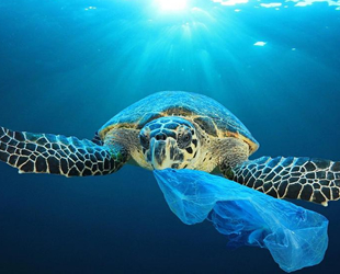 Caretta carettaların sindirim sisteminde yüzde 60 plastik çıktı