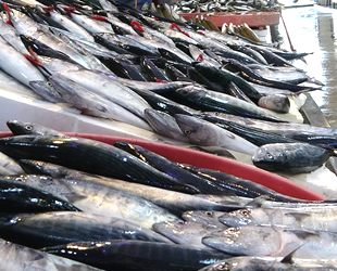 Palamut balığında son günler yaşanıyor