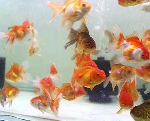Pandemi akvaryum balığı ithalatını vurunca fiyatlar yüzde 100 arttı