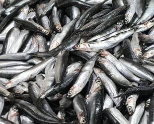 Balıkçılar, ümidini hamsiye bağladı
