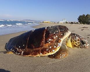 Kuşadası'nda iki kaplumbağa ölü olarak bulundu