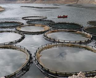 Torul Baraj Gölü'nde balık hasadı başladı