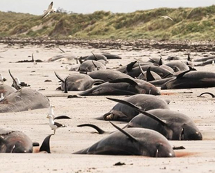Yeni Zelanda'da korkunç manzara! Onlarca balina karaya vurdu!