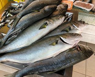 Denizlerde kofana balığı bereketi yaşanıyor