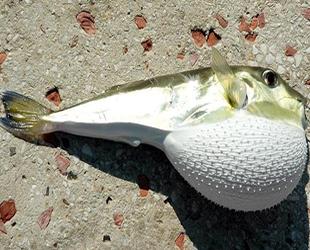 Balon balığı avlayana para verilecek