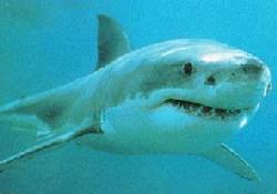 Dev köpek balığı ilgi topladı
