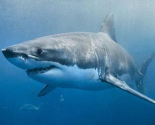 Bahamalar'daki deniz koruma alanında yaşayan köpek balıklarında zehirli metal keşfedildi