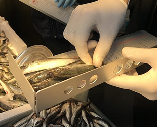 İstanbul'da balık tezgahlarında hamsi boylarına denetim gerçekleştirildi