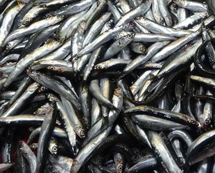 Çanakkale'de hamsi fiyatları el yakıyor