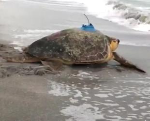 ABD'de tedavisi tamamlanan deniz kaplumbağasına uydu alıcı takıldı