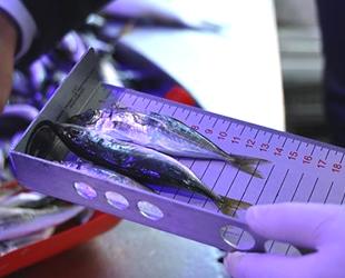 Bilecik'te balıkların boyları teker teker ölçüldü