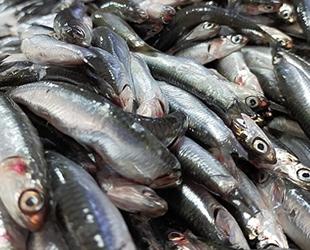 Hamsi avı yasağı 7 Şubat'a kadar uzatıldı
