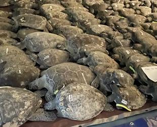 Donmak üzere olan 3 bin 500 deniz kaplumbağası kurtarıldı
