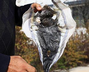 'Balon balığının derisi cüzdan yapılsın' önerisi geldi