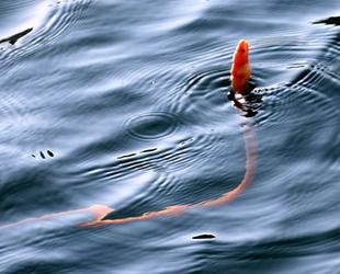 Çanakkale Boğazı'nda 'yılan kurdu balığı' görüntülendi