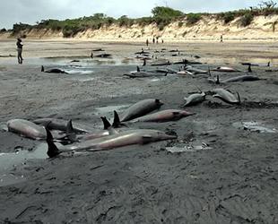 Mozambik sahilinde 111 ölü balina bulundu
