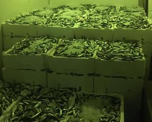 Gürpınar Su Ürünleri Hali'nde canlı deniz böceği ve ıstakoz ele geçirildi