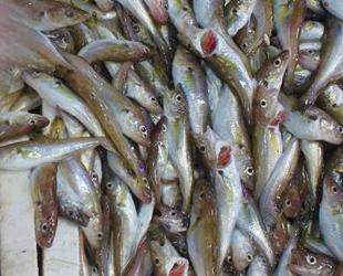 Balıkçı tezgahlarının yeni gözdesi mezgit oldu