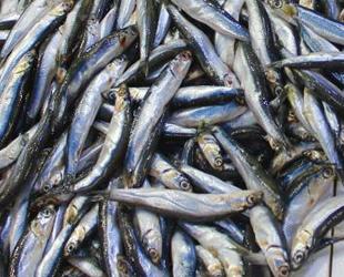 Karadeniz'den hamsi ihracatı bu yıl üzdü