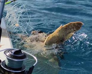 Balıkçılar, misinaya takılan carettayı kurtarıp denize bıraktı