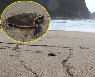 Alanya'da fırtınada caretta carettalar sahile vurdu