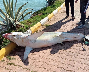 Antalya'da köpek balığı ölüsü sahile vurdu