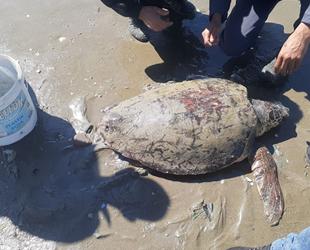 Denize atılan iğnelerin yaraladığı caretta kurtarıldı