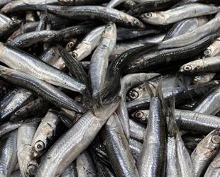 Karadeniz'de her yıl 1 milyon ton hamsi, yanlış avcılıkla yok oluyor
