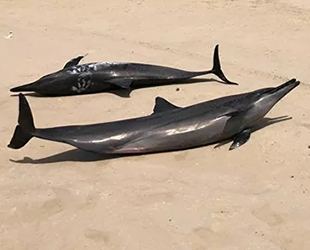 Kızıldeniz kıyısında mahsur kalan 40 adet yunus kurtarıldı