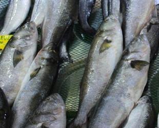 Kofana balığı bolluğu tezgah fiyatlarına yansıdı
