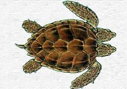 Çift başlı deniz kaplumbağası...