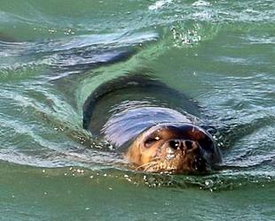Akdeniz fokları, Boğaçayı'nı mesken tuttu