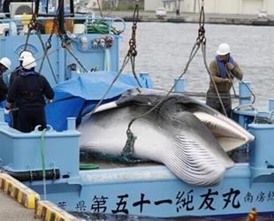 Japonya'da 2021 kıyı balina avcılığı sezonu açıldı