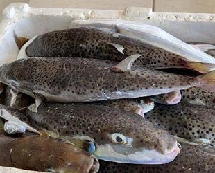 Balon balıkları, Akdeniz ve Ege'de büyük tehlike oluşturuyor
