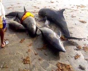 Gana'da onlarca yunus kıyıya vurdu