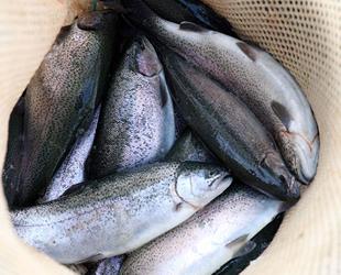 Fırat Nehri'nden 54 ülkeye somon ihracatı gerçekleştiriliyor