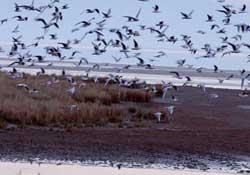 Karadeniz'de kuş gribi riski