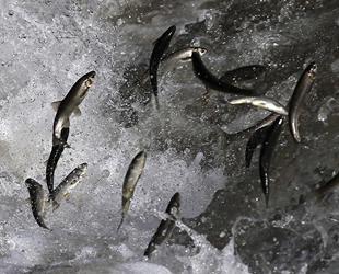 Van Gölü'nün incisinin zorlu yolculuğu 'sessiz' gerçekleşiyor
