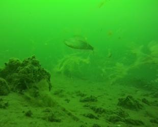 Deniz salyası su altını da tehdit ediyor