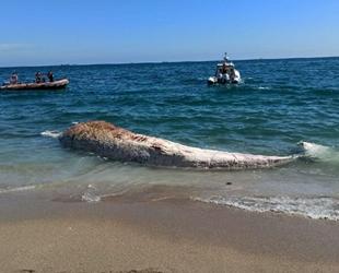 Mersin'de sahile ölü oluklu balina vurdu