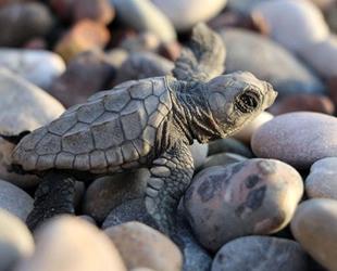 Deniz kaplumbağalarının kaslarında 'plastik atık' saptandı