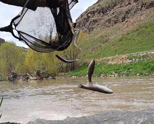 Tatlı su kefallerinin ölüm göçü sürüyor
