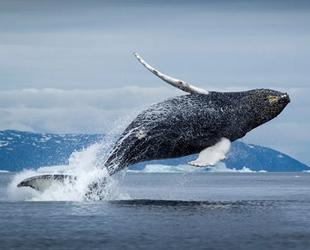 Grönland balinaları artık göç edemiyor