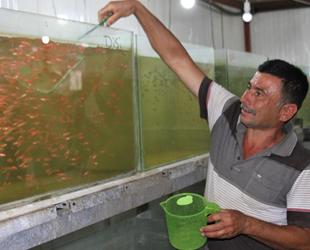 Ali Kaçak, serada süs balığı üretmeye başladı