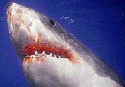 Mersin'de ağlara köpekbalığı takıldı