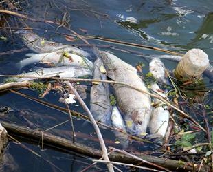 Kızılırmak'taki toplu balık ölümleri tedirgin etti