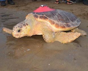 'Talay' isimli deniz kaplumbağası, uydudan izlenecek